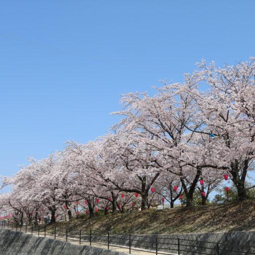 広島のお花見の名所として知られる春の観光地・住吉堤防