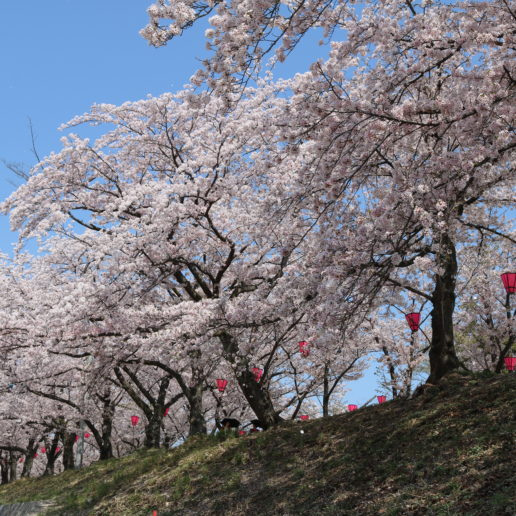 A great cherry blossom spot near Miyajima, Hiroshima to have bento-lunch in spring.