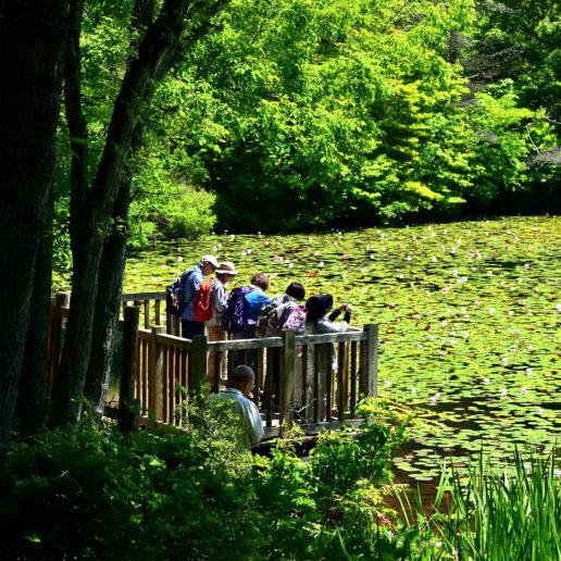 花の名所として知られる極楽寺の睡蓮まつり。