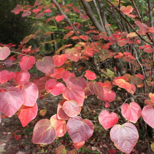 紅葉が美しいベニマンサク群落