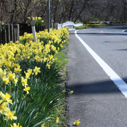 A beautiful road for driving with daffodils in springtime