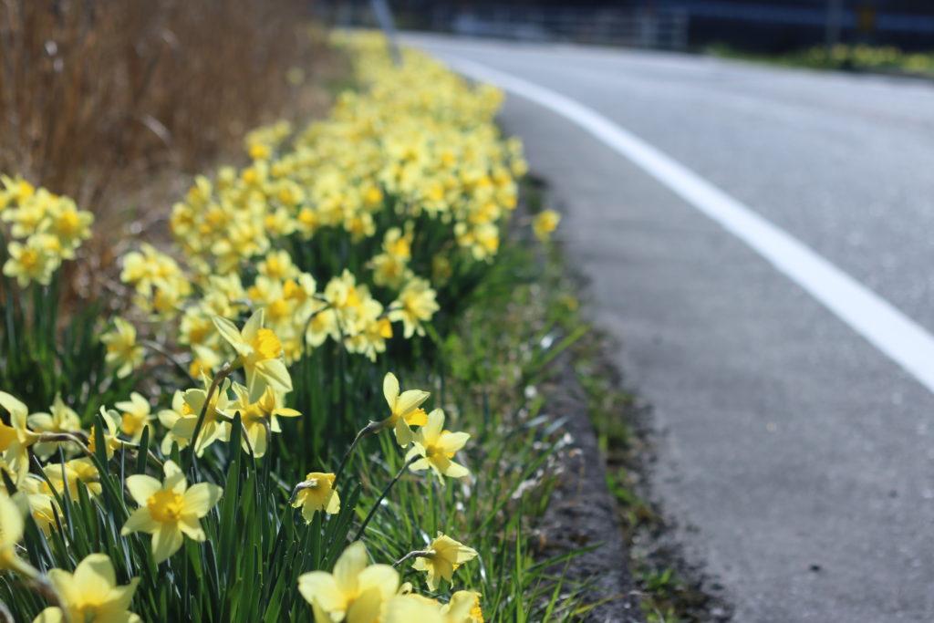 広島観光の映えスポット水仙ロード