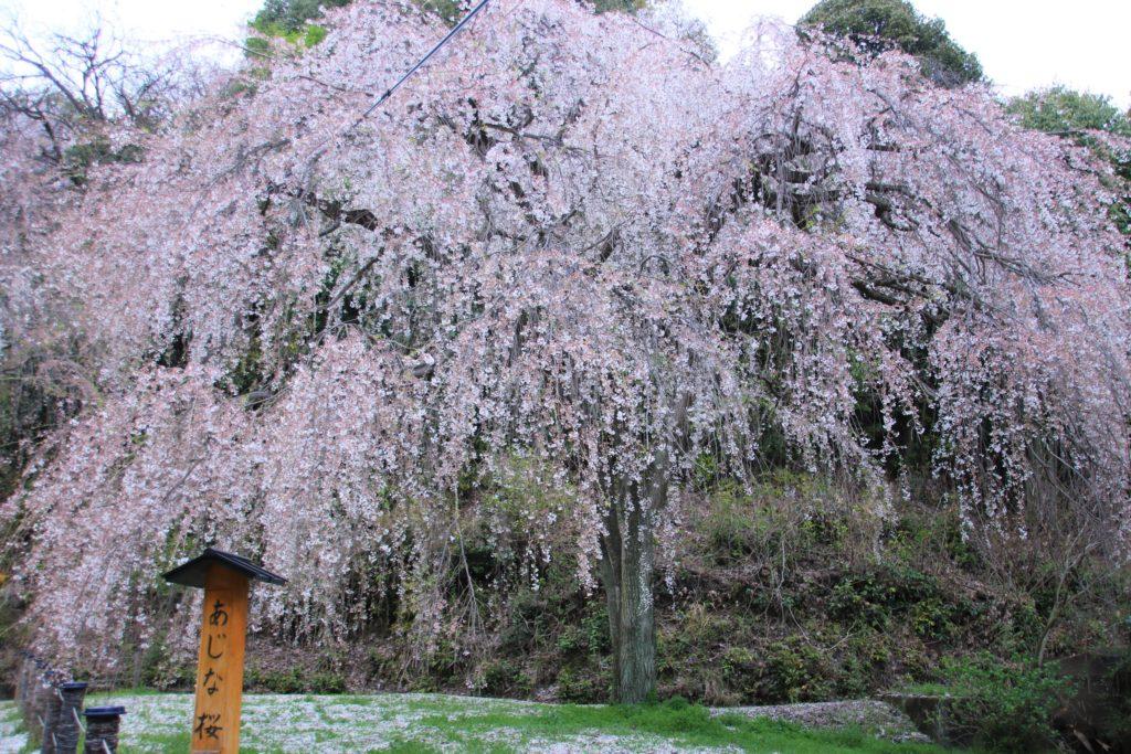 ゆっくりと桜が楽しめる 廿日市の桜名所