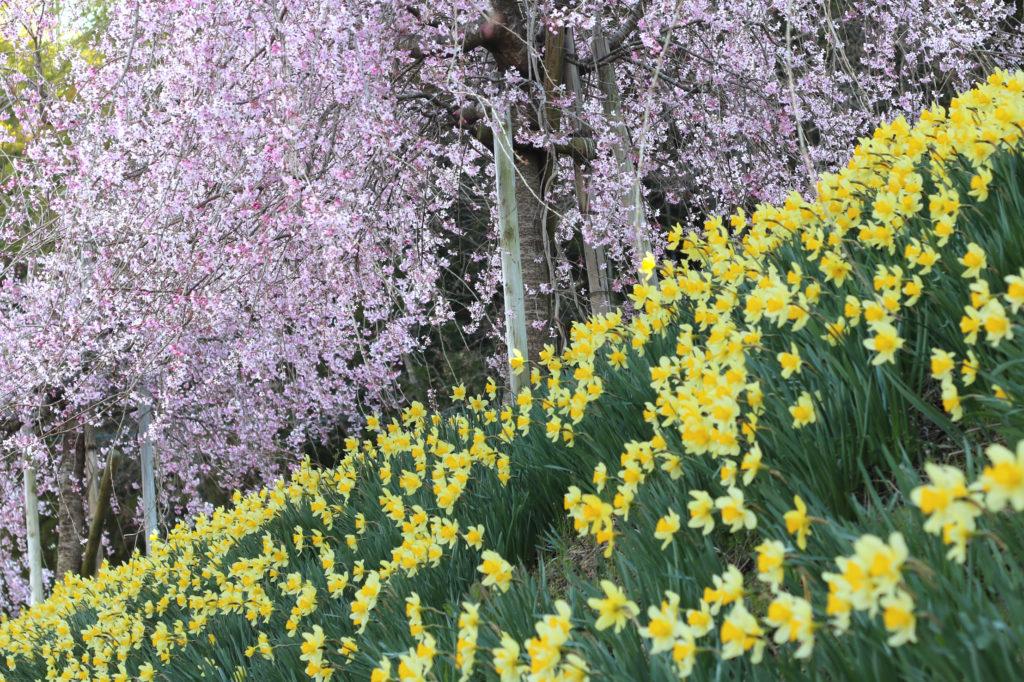 春の吉和は、桜と水仙を同時に楽しむことができる観光地