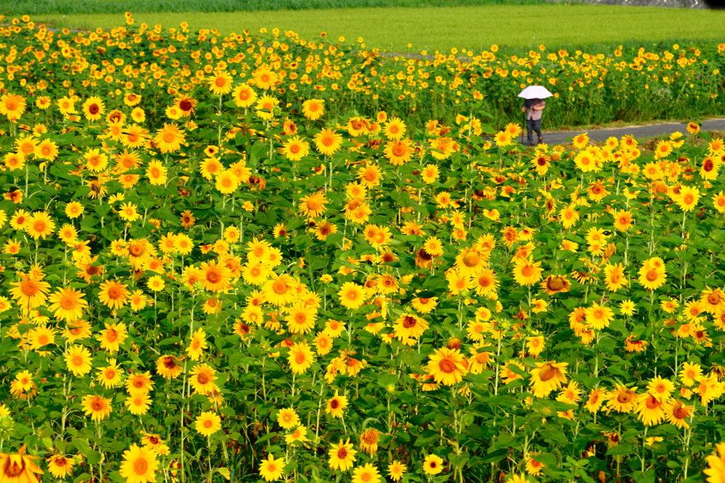 広島からたくさんの人が訪れるひまわりの観光スポット
