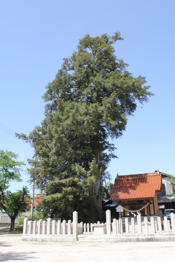 真幡神社の大榧